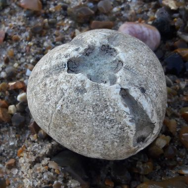 Fossilised sea urchin